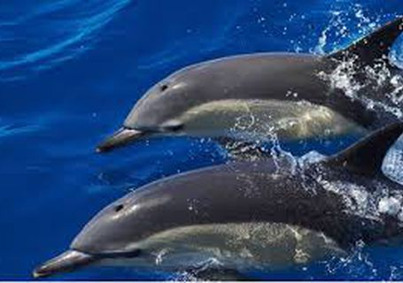 Dolphins in the Sado Portugal.