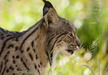 Project launched for endangered Iberian lynx.